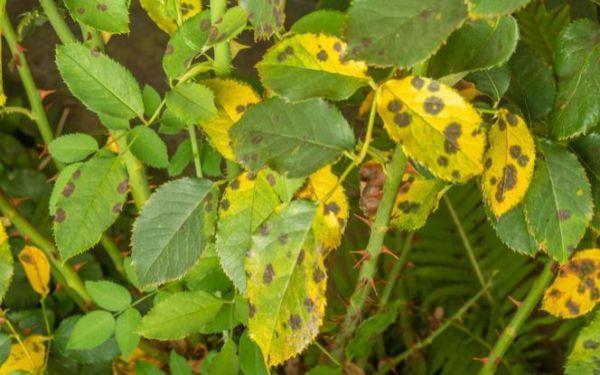 Najgroźniejsze choroby i szkodniki róż. Na co chorują róże i jak je leczyć?